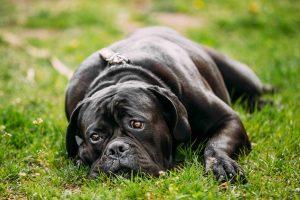 Dog in need of Richmond Animal hospital